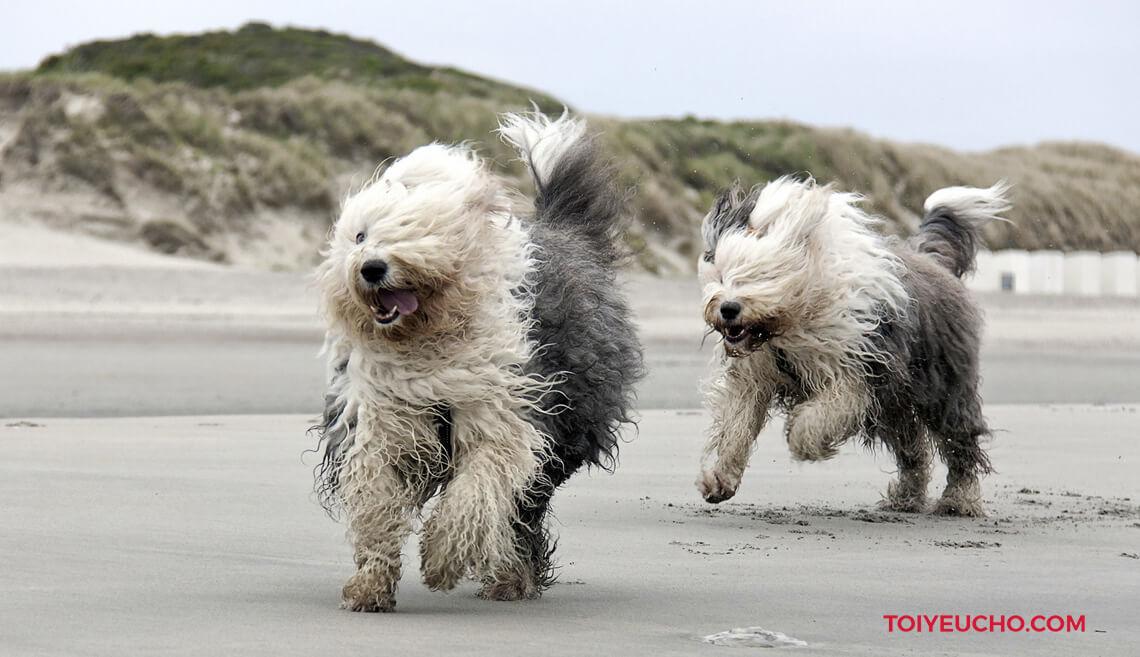 Chó Sheepdog - Chó Chăn Cừu Anh Cổ Lông Dài Đáng Yêu